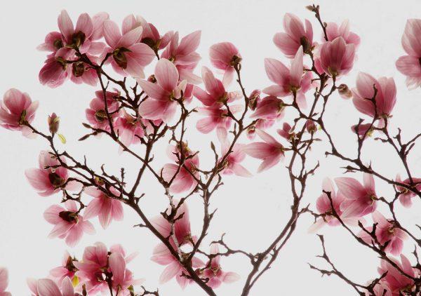 Dogwood Blossom #1